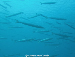 big ggest shoal of Barracuda I&#180;&#180;ve ever see.